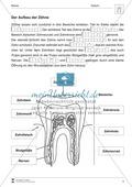 Aufbau der Zähne: Übungen mit Lösungen Preview 2
