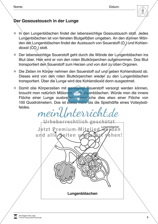 Arbeitsblatt Lunge Und Atemwege : Gasaustausch in der lunge Überblick meinunterricht