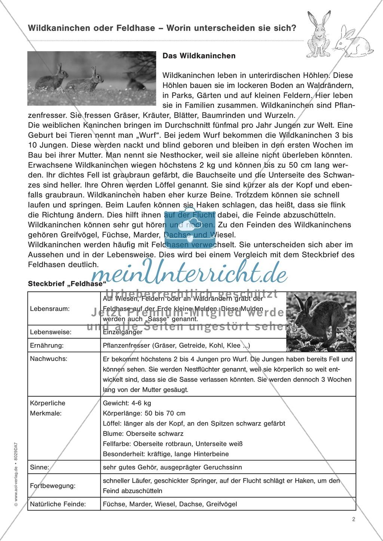 Wildkaninchen oder feldhase text leicht meinunterricht - Steckbrief feldhase grundschule ...