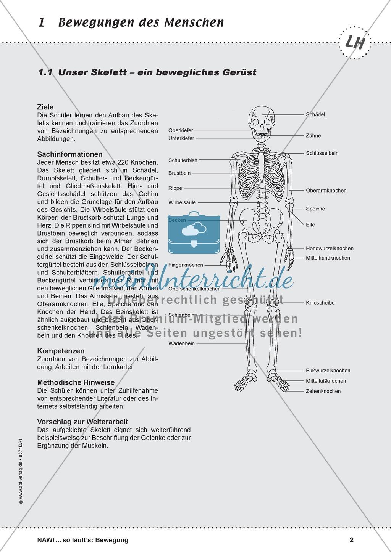 Das Skelett: Lehrerübersicht und Schülerarbeitsbogen Preview 0