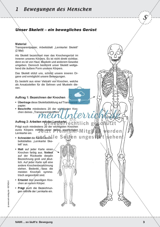 Das Skelett: Lehrerübersicht und Schülerarbeitsbogen Preview 1