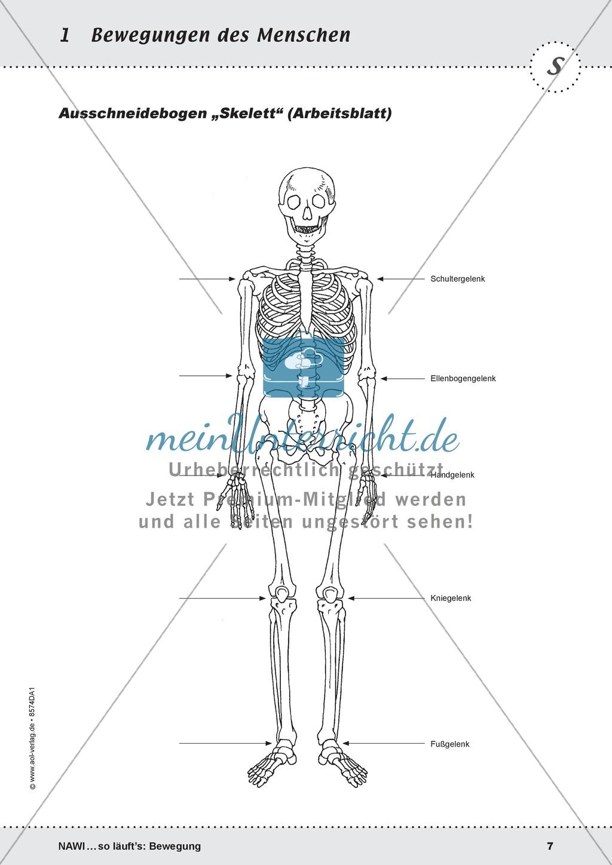 Das Skelett: Lehrerübersicht und Schülerarbeitsbogen Preview 3