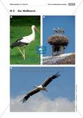 Der Weißstorch - Tiere beschreiben Preview 3