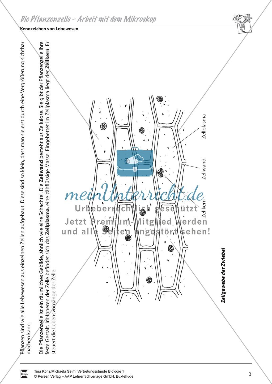 Pflanzenzelle: Zellgewebe der Zwiebel, Zwiebelhaut unterm Mikroskop - Vertretungsstunde Preview 1