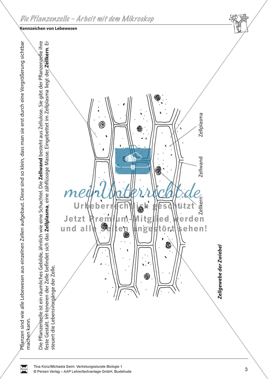 Pflanzenzelle: Zellgewebe der Zwiebel, Zwiebelhaut unterm Mikroskop ...