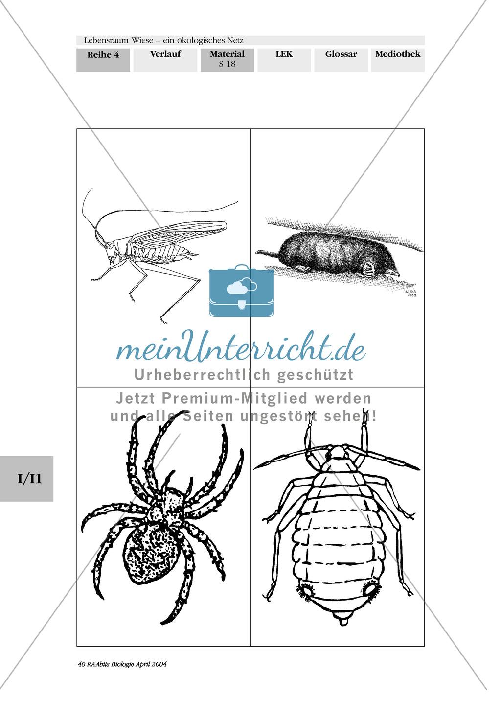 Lebensraum Wiese: Das ökologische Netz einer Wiese - Text- und Bildkarten Preview 14