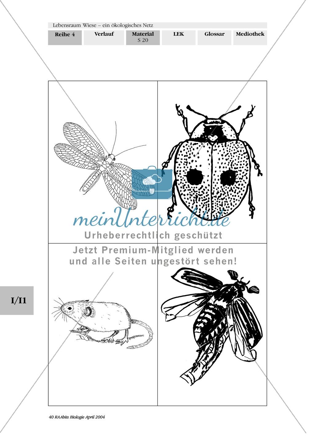 Lebensraum Wiese: Das ökologische Netz einer Wiese - Text- und Bildkarten Preview 16