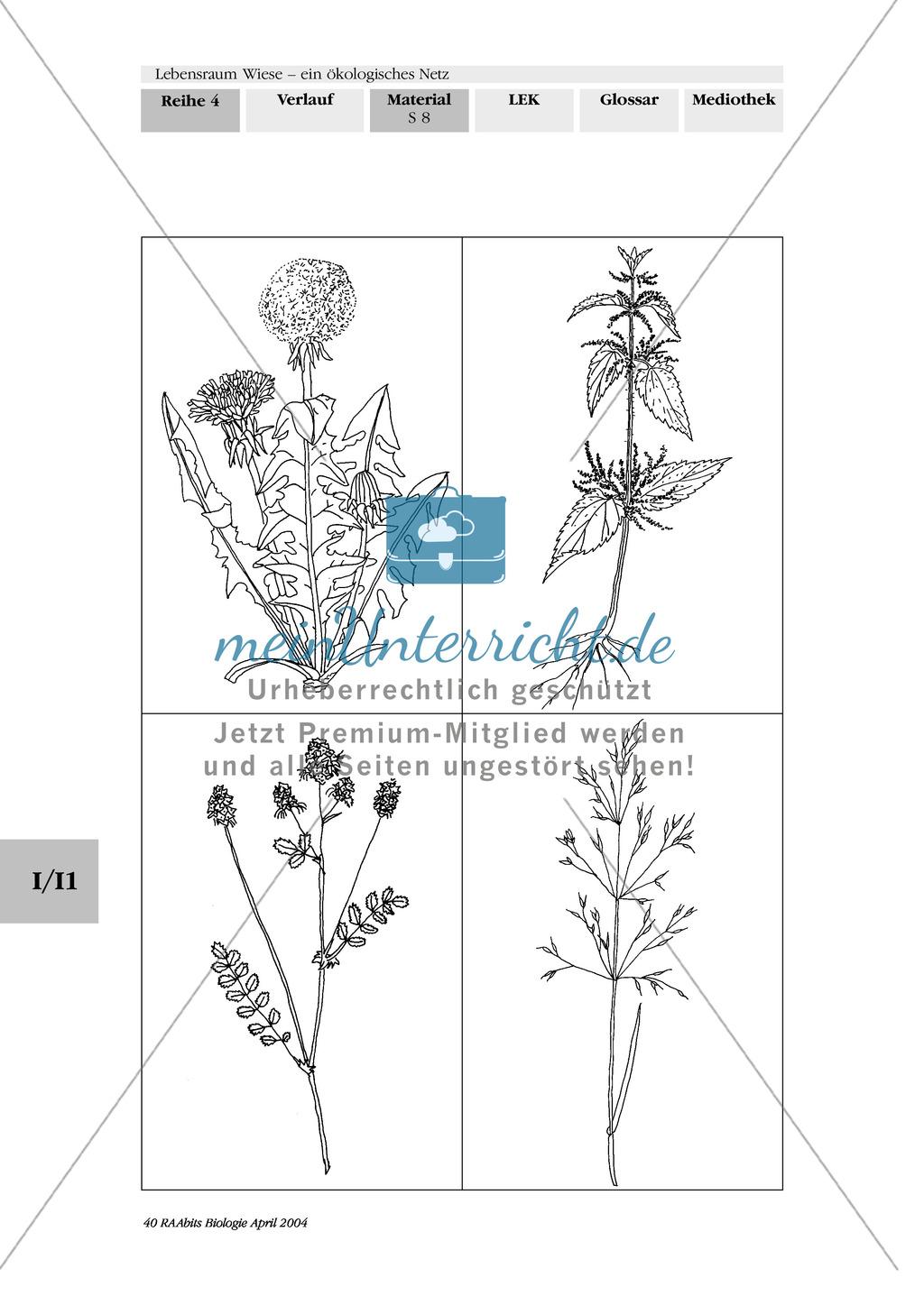 Lebensraum Wiese: Das ökologische Netz einer Wiese - Text- und Bildkarten Preview 4