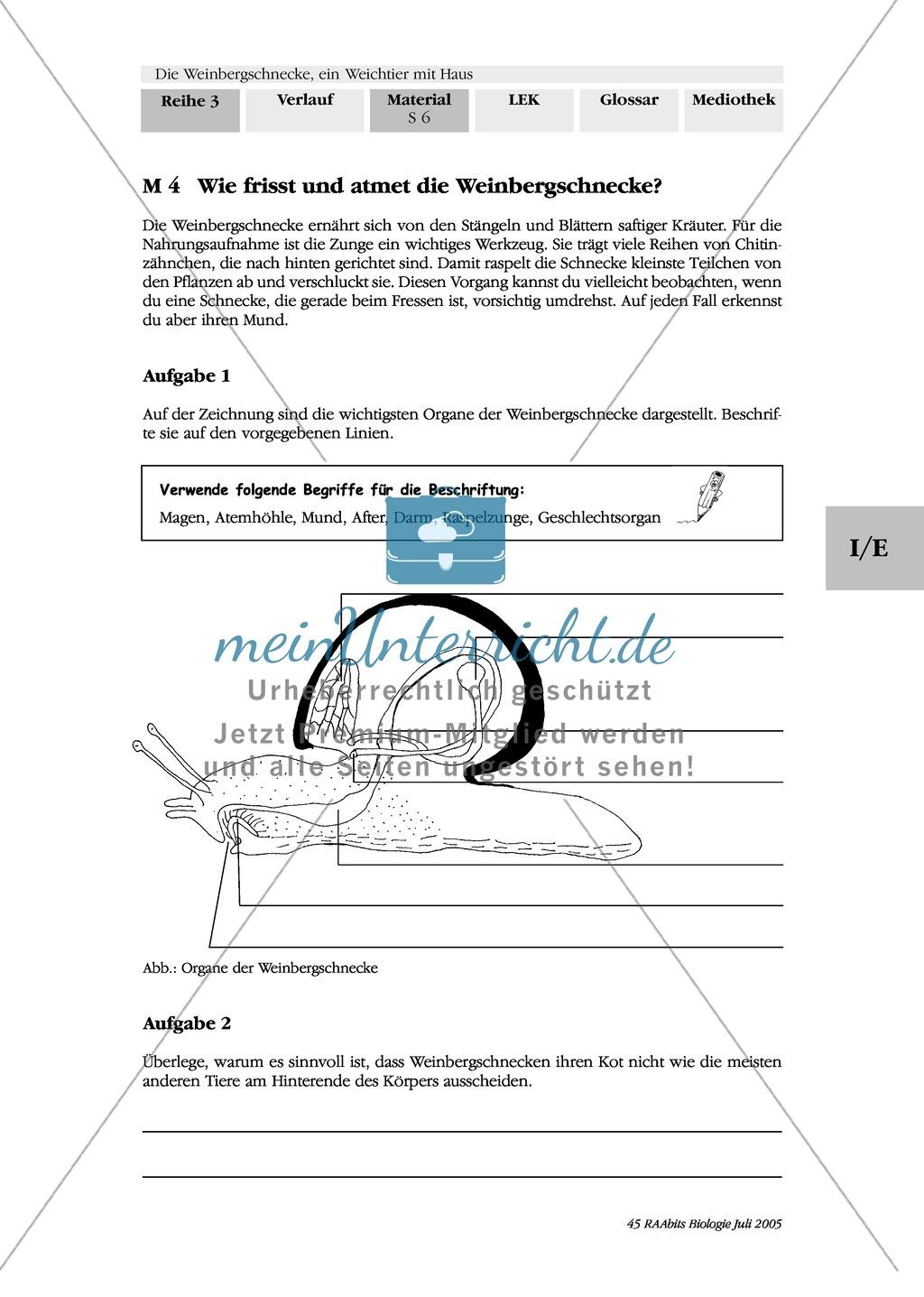 Nahrungsaufnahme und Atmung bei der Weinbergschnecke: Beschriften, Lückentext Preview 0