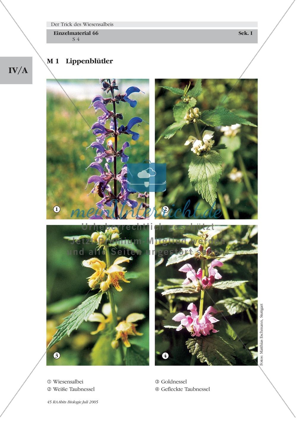 Wiesensalbei - ein Vertreter der Lippenblütler: Lage der Ober- und Unterlippe der Blüte + Bestäubungsmechanismus Preview 1