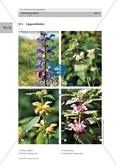 Wiesensalbei - ein Vertreter der Lippenblütler: Lage der Ober- und Unterlippe der Blüte + Bestäubungsmechanismus Thumbnail 1