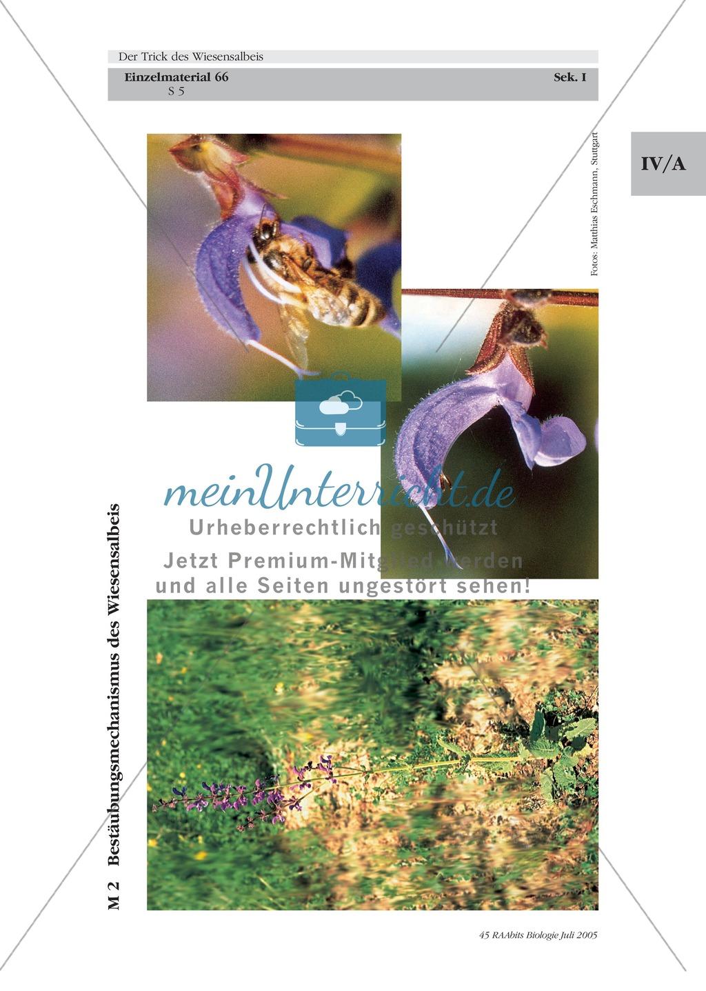 Wiesensalbei - ein Vertreter der Lippenblütler: Lage der Ober- und Unterlippe der Blüte + Bestäubungsmechanismus Preview 3