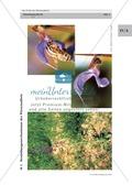 Wiesensalbei - ein Vertreter der Lippenblütler: Lage der Ober- und Unterlippe der Blüte + Bestäubungsmechanismus Thumbnail 3