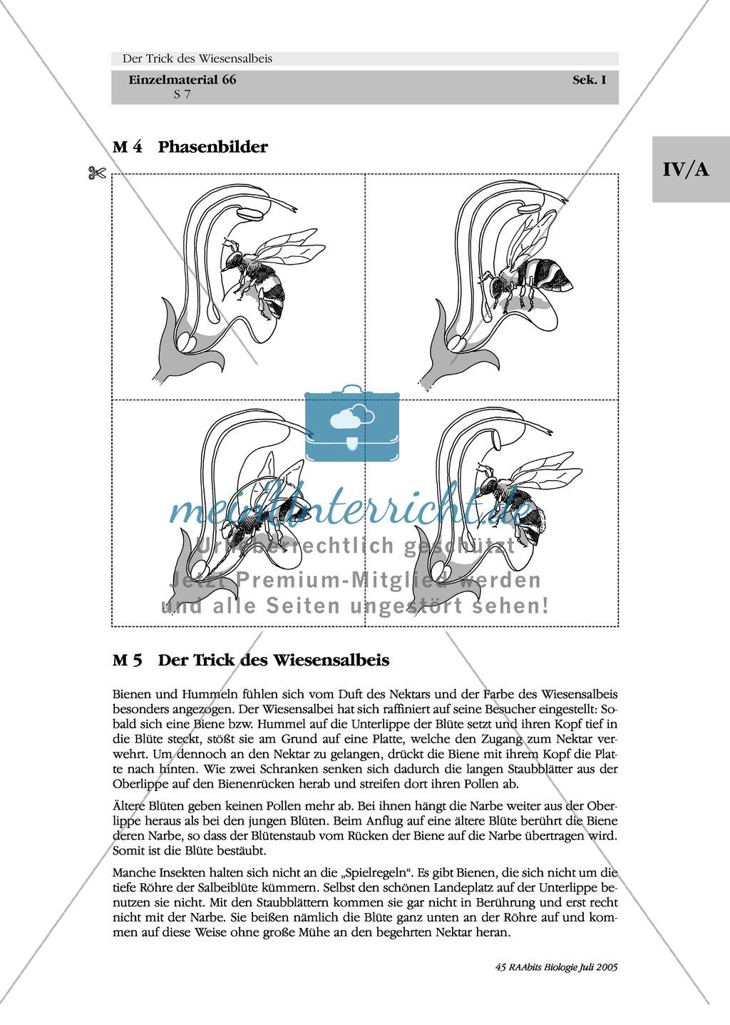 Wiesensalbei - ein Vertreter der Lippenblütler: Morphologie des Wiesensalbeis + Ablauf des Pollenschlagwerks Preview 1