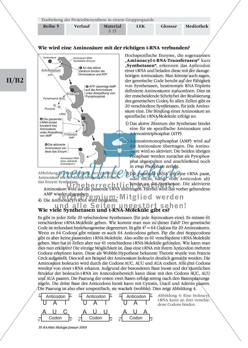 Die Teilprozesse der Proteinbiosynthese: Mini-Gruppenpuzzle Preview 4