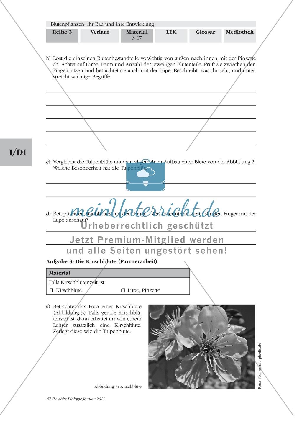 Blütenbau Tulpe, Kirsche: Text, Zeichnen Preview 6