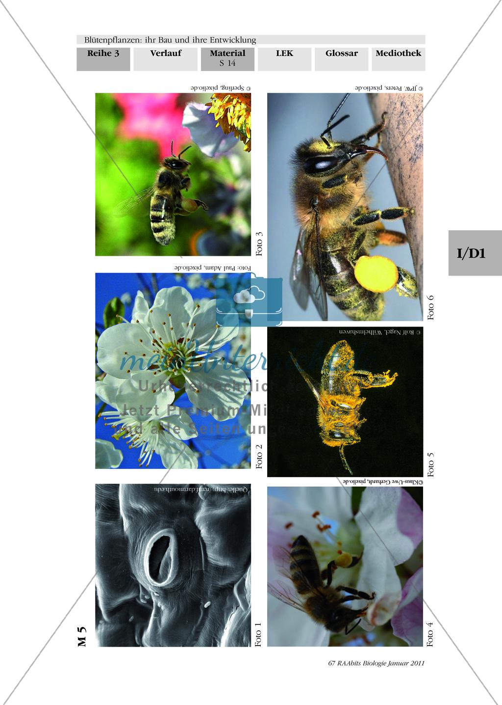 Befruchtung von Blütenpflanzen: Text, Zeichnen, Beschriften Preview 2