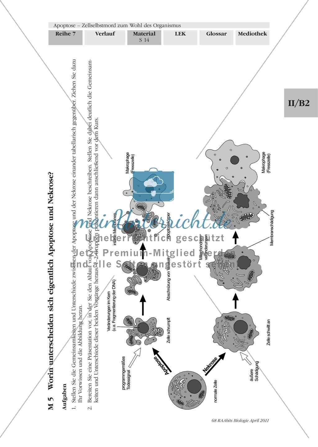 Definition, Wege und Auslöser der Apoptose: Texte, Abbildungen Preview 2