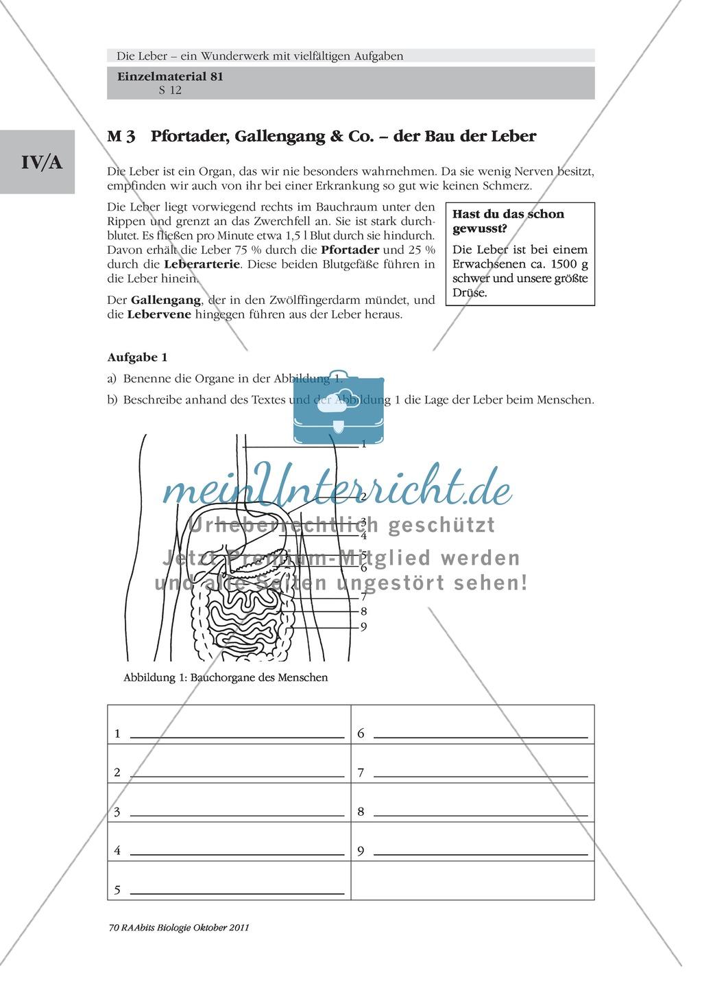 Bau der Leber: Beschriften Preview 4