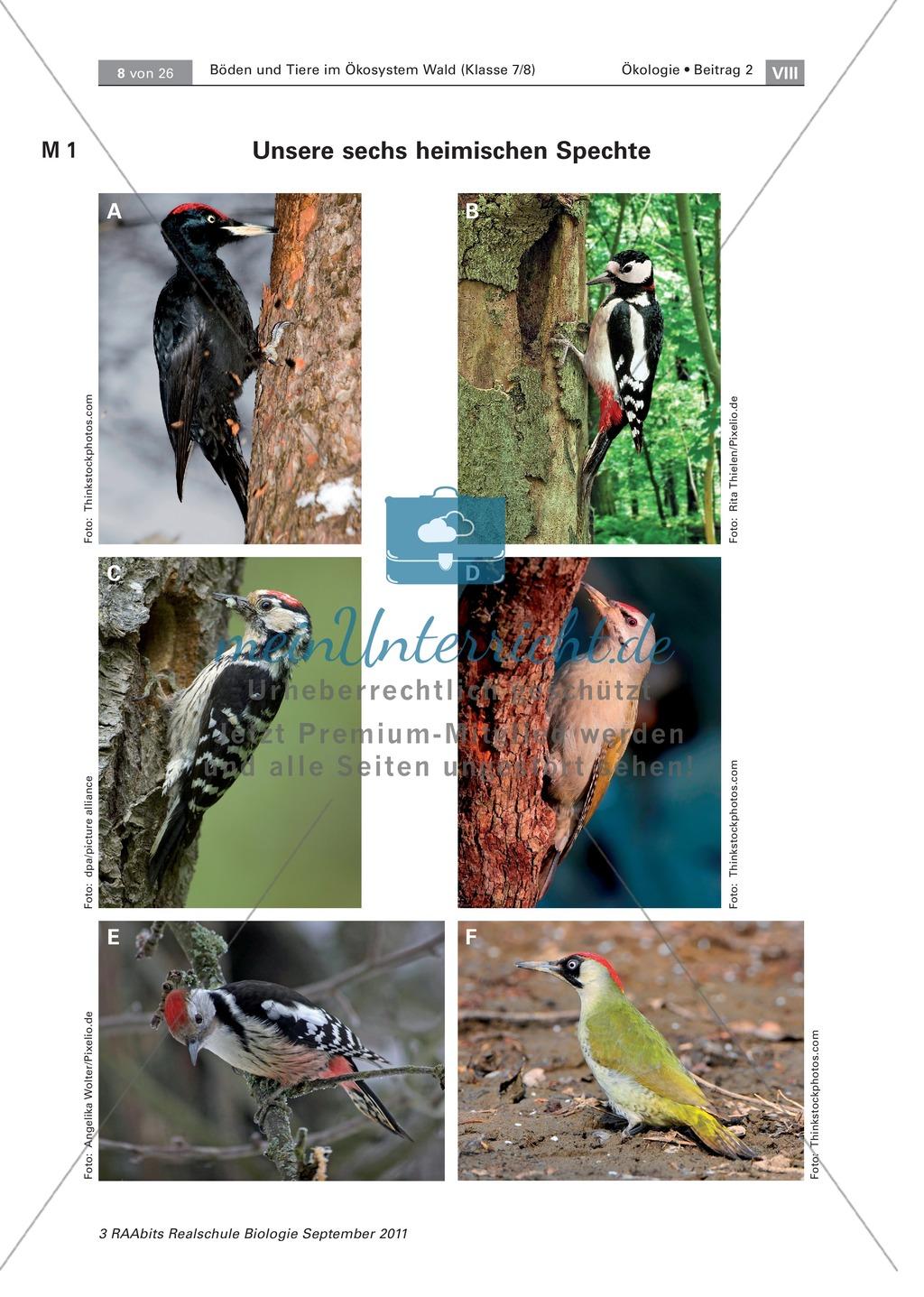 Spechte und ihre ökologische Nischen im Wald: Modelle, Beschriftung Preview 0