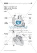 Arbeitsschritte des menschlichen Herzens: Steckbrief, Beschriften, Beschreiben Thumbnail 3
