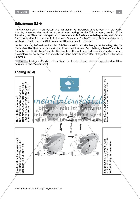 Arbeitsschritte des menschlichen Herzens: Steckbrief, Beschriften, Beschreiben Preview 5