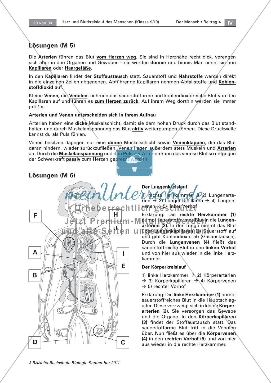 Zwei Kreisläufe des menschlichen Herzens: Lückentext, Beschriften Preview 3