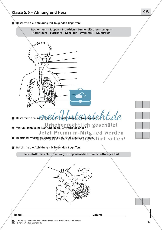 LZK Klasse 5/6 zum Thema Atmung und Herz Preview 1
