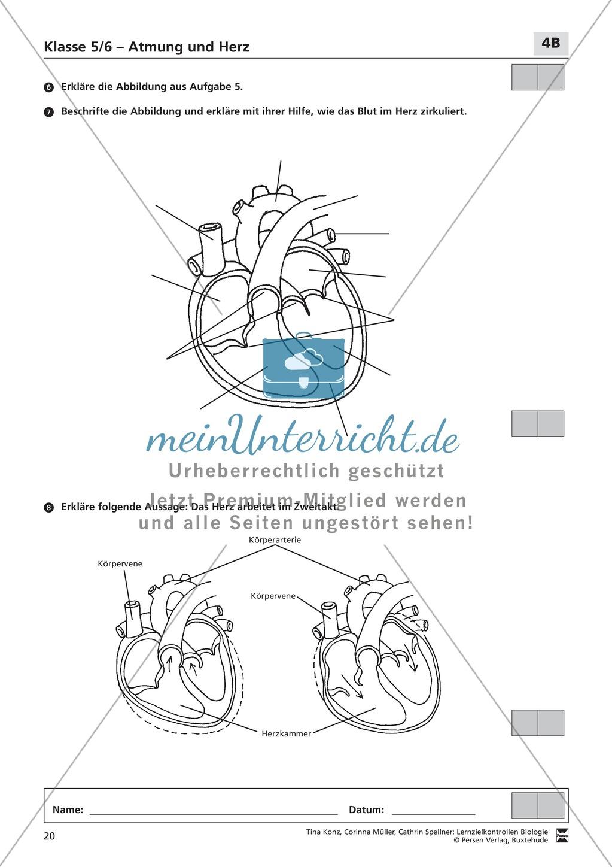 LZK Klasse 5/6 zum Thema Atmung und Herz Preview 4