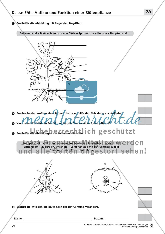 Aufbau und Funktion einer Blütenpflanze   meinUnterricht