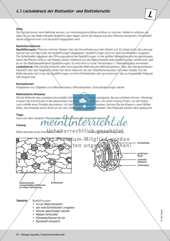 Lackabdruck der Blattunter- und Blattoberseite Preview 1