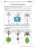 Die Entstehung der Frucht aus der Blüte Preview 10
