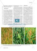 Weizen, Mais und Reis - Drei Eckpfeiler der weltweiten Ernährung Preview 2
