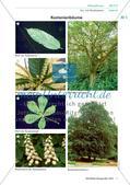 Die Merkmale von Kastanienbäumen Preview 1
