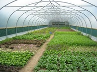 veg in polytunnel