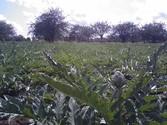 saffrey farm globe artichokes