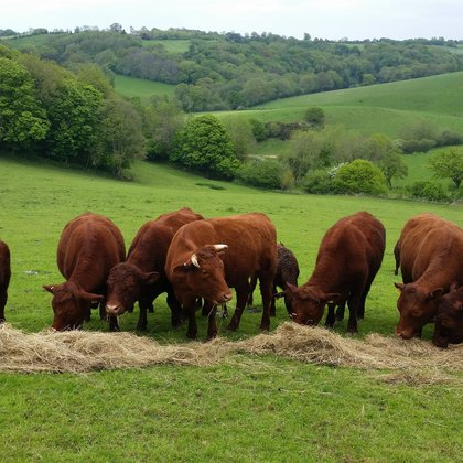 Bagnell Farm red ruby cattle