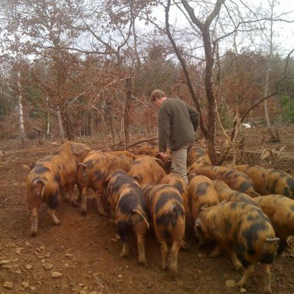Forest Pigs