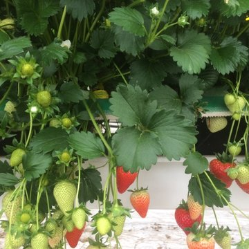Fiveways strawberries growing