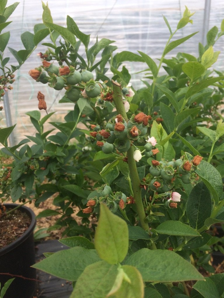 Blueberries growing Fiveways fruit farm