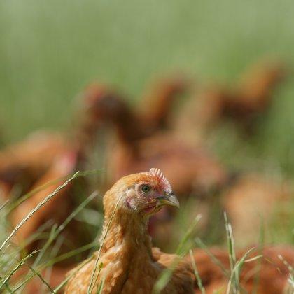 chickens in grass Paul Sykes Jan 12