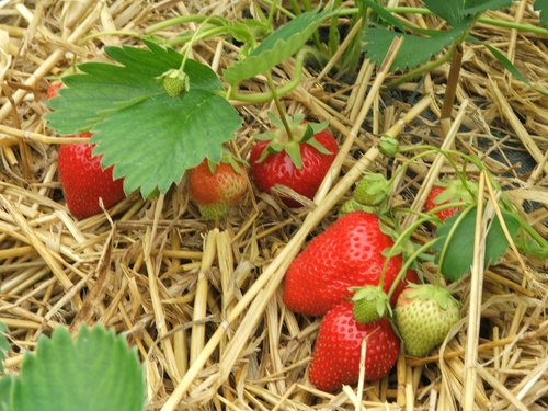 strawberries cu on straw