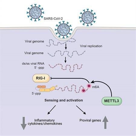 Коронавирус взламывает иммунитет, как и ВИЧ, но более лениво