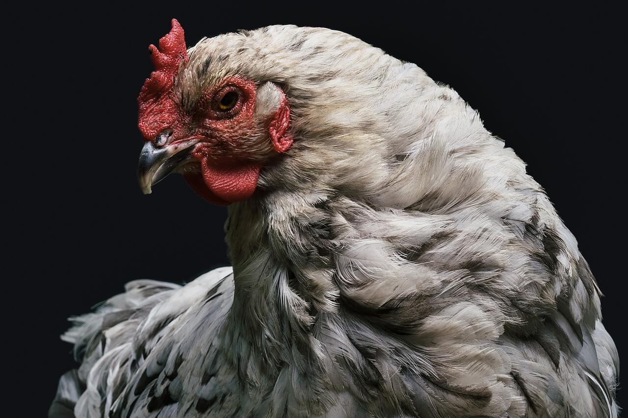 Новый штамм птичьего гриппа в Китае: поводов для паники нет - изображение 1