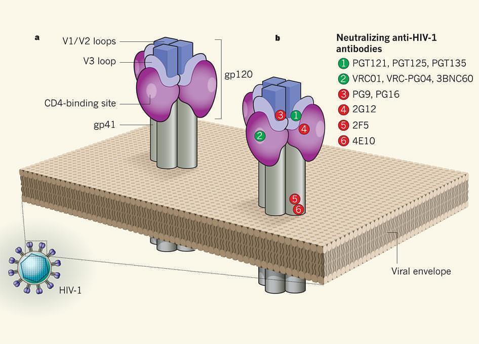 Gilead представила улучшенную версию ВИЧ-специфического bNAb PGT121