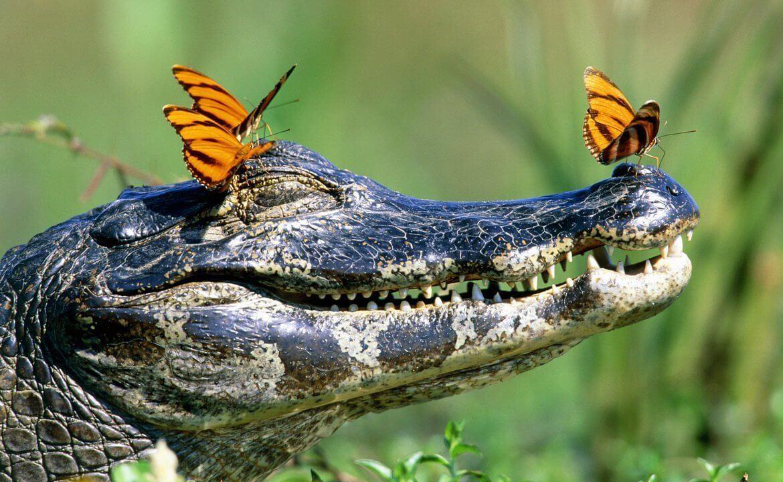 Кровь крокодила поможет при лечении ВИЧ? - изображение 1
