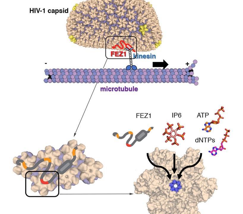 Исследователи описали «строительные блоки» защитной оболочки ВИЧ