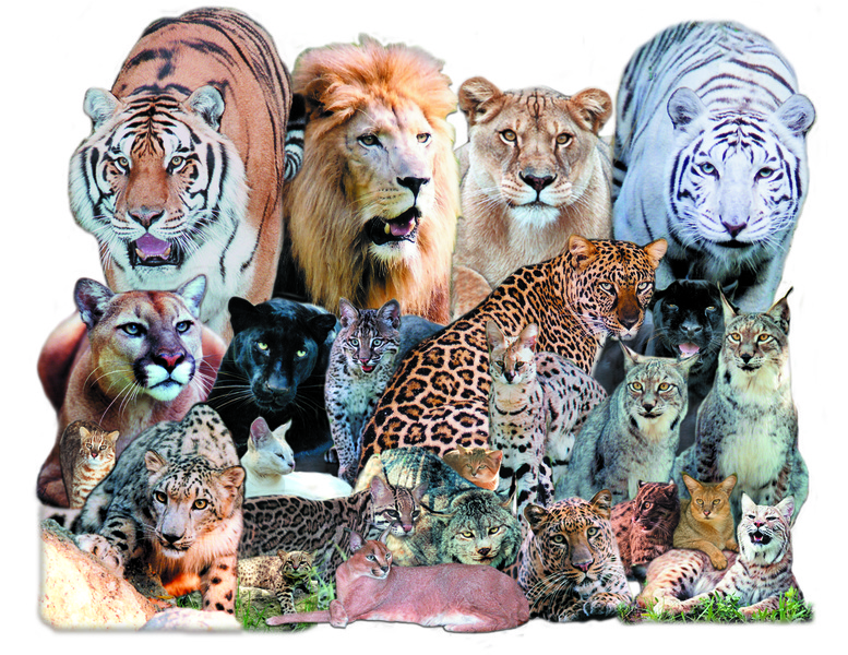 Image result for big cats