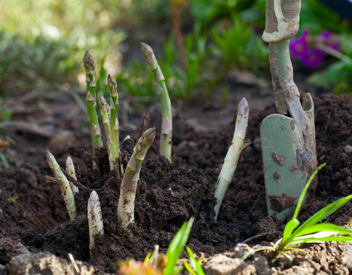 Quelle est la différence entre les asperges vertes, blanches ou violettes ?