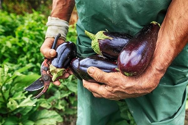 Idée reçue : l'aubergine est-elle vraiment une alliée minceur ?